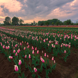 Sunset With Tulips by Manabendra Dey - Flowers Flower Gardens ( tulips.kashmir, sunset with tulips, tulip )