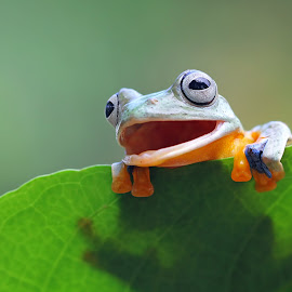 Tree frog by Kurit Afsheen - Animals Amphibians ( macro, animals, laugh, frog, tree frog, funny, smile, frogs, amphibians )