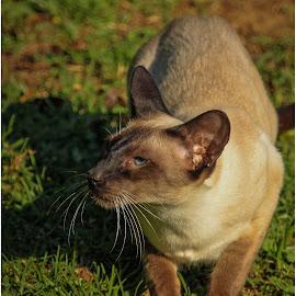 Cat by Dirk Luus - Animals - Cats Portraits ( cat, nature, persian, pet, animal )