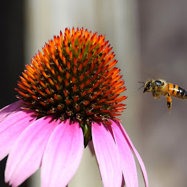 Cone-Flower Cafe by Jamie Boyce - Animals Insects & Spiders ( center, bristle, flight, cone flower, purple, nature, bee, honeybee, close-up )
