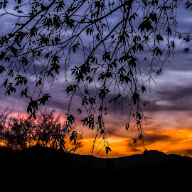 January Desert Sunset by Karen Martin - Landscapes Sunsets & Sunrises ( orange, desert, purple, silhouette, sillo, yellow, leaves, buds, mountains, red, tree, blue, sunset, shadow, arizona, branch, gold, sunrise )