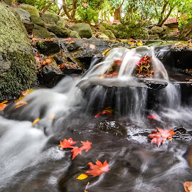 by Keith Sutherland - Nature Up Close Water ( water, pure, stream, fall stream with red and yellow leaves, red, clean, nature, flowing water, fall, beacon hill park, victoria, yellow )