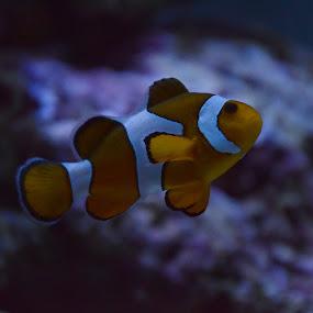Finding Nemo by Pantelis Orfanos - Animals Fish ( percula, clownfish, nemo, finding nemo )