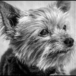 Shih Tzu by Dave Lipchen - Black & White Animals ( shih tzu )