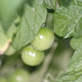 Cherry Tomatoes by Kathy Psencik - Novices Only Flowers & Plants ( green, plants, green plants, veggies )