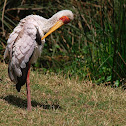 Tántalo africano (Yellow-billed stork)