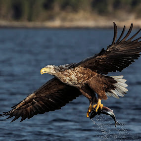 Got you! by Lillian Utstrand Gulliksen - Animals Birds ( birds of prey, eagle, white tailed eagle, eagle smøla, adult )