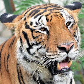 Tiger by Diliban P - Animals Lions, Tigers & Big Cats ( tigress, zoo, tiger, wildlife, portrait )