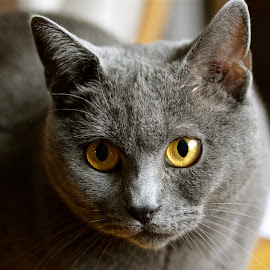 Harmonie by Serge Ostrogradsky - Animals - Cats Portraits ( chartreux )