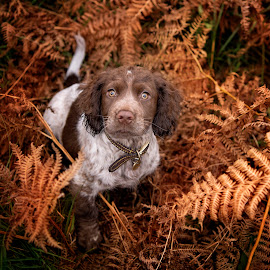 Stan by Jude Stewart - Animals - Dogs Puppies ( autumn, spaniel, liver, puppy, cocker )
