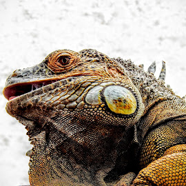 Cool Dude by Ian Popple - Animals Other Mammals ( hot climate, reptile )