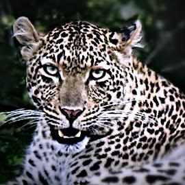Male Leopard by Pieter J de Villiers - Animals Lions, Tigers & Big Cats