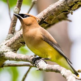 Cedar Wax Wing by Dave Lipchen - Animals Birds ( bird, tree, ceadr wax wing )
