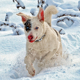 Playing in the Snow by Twin Wranglers Baker - Animals - Dogs Playing (  )