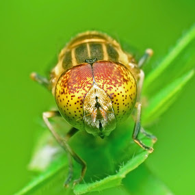 lebah  by Lanun Syah - Animals Insects & Spiders ( macro, animals, other, art, close up )