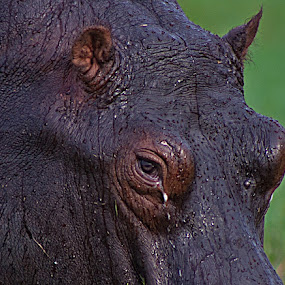 Tear of a Hippo. by Lakshmi Vadlamani - Animals Other Mammals