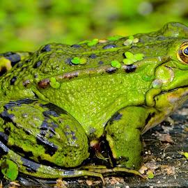 by Vladymyr Sergeev - Animals Amphibians