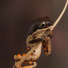 tiger legged monkey frog by Paul Hudson - Animals Amphibians ( tiger, tree, frog, twig, brown )