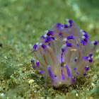 Angelvaldesi Nudibranch