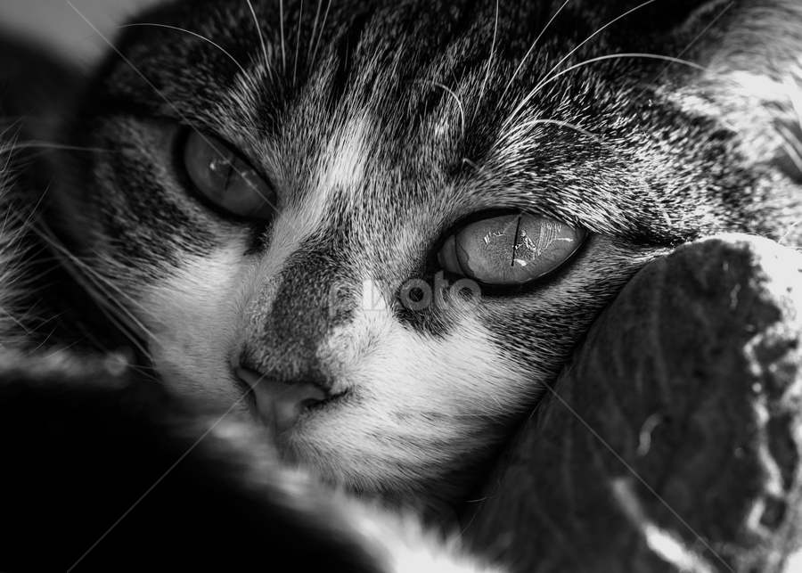 relaxed by Kain Dear - Animals - Cats Portraits ( details, relaxed, whiskers, fur, mono, eyes )