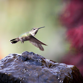 Fly By by Lynne McClure - Animals Birds ( bird, water, nature, wings, hummingbird, wildlife )