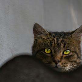 Cat by Gabi Todorean - Animals - Cats Portraits ( animals, kitten, cat )