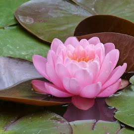 Pink by Helena Moravusova - Flowers Flower Gardens ( pink, water lily, flower )