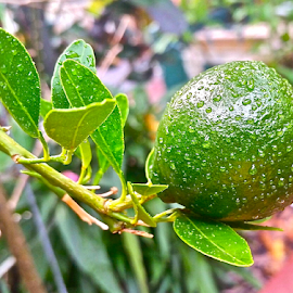 { Mandarin Orange after the rain on tree in front ~ 21 July }  by Jeffrey Lee - Nature Up Close Gardens & Produce ( { mandarin orange after the rain on tree in front ~ 21 july } )