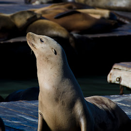 Seal Posing by Pravine Chester - Animals Other ( marine animal, nature, seal, photography, animal )