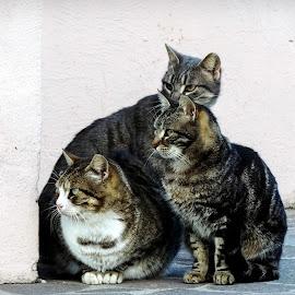 Street Cats by Simona Savini - Animals - Cats Portraits ( cat, cat face, animals, street cats, street cat, gatto, portrait, ritratti di strada, cats, gatti, portrait of cats, cat portrait, animali, ritratto, portraits, animale, 1 2 3, animal )