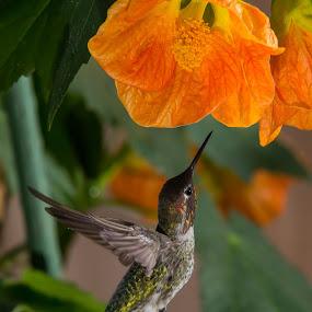Flowing Maple  by Jim Malone - Animals Birds ( hummingbird, anna )