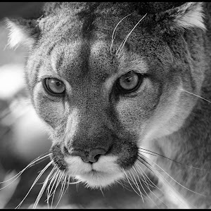 Mountain Lion-14.jpg