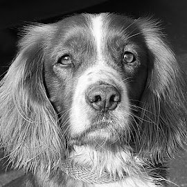 Perry by Chrissie Barrow - Black & White Animals ( monochrome, black and white, cocker spaniel, pet, fur, ears, grey, dog, mono, nose, portrait, eyes, animal )