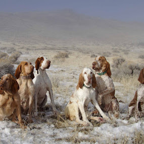 My Braccos  by Ralph MInnitte - Animals - Dogs Portraits