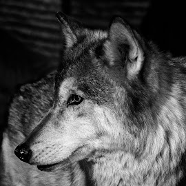 Wolf by Dave Lipchen - Animals Other Mammals ( black and white, wolf, eye )