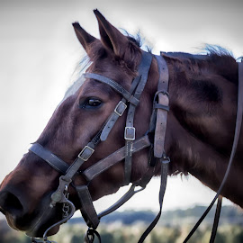 Looking the other way by Janice Mcgregor - Animals Horses ( photos, reins, seasonal, sky, fall, horse, images, summer, contest )