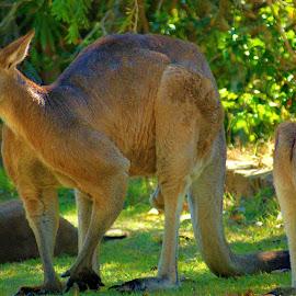 Kangaroo,s by Tim Bennett - Animals Other ( sunshine coast, australian symbol, kangaroo, australian, marsupial )
