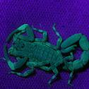 Marbled Scorpion