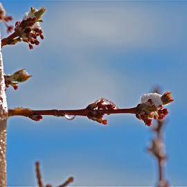 by Angie Arnold - Nature Up Close Trees & Bushes ( macro, waterdrop, tree, budding, snow, bud, spring,  )