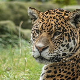 Jaguar by Garry Chisholm - Animals Lions, Tigers & Big Cats ( big cat, jaguar, nature, predatir, wildlife, garry )
