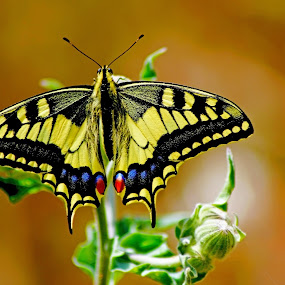 Swallowtail Butterfly by Rui Gonçalves - Animals Insects & Spiders ( butterfly, nature, butterflys, borboleta, swallowtail butterfly )