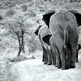 Elephants by Janina Paroulková - Animals Other Mammals