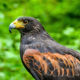 Harris hawk by Mandy Hedley - Animals Birds ( bird, tallons, harris, prey, hawk )