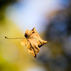 Falling by Todd Wallarab - Nature Up Close Leaves & Grasses ( nature, season, colors, fall, leaf )