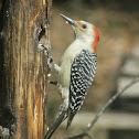 Red-bellied Woodpecker – Female
