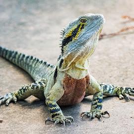 Water Dragon by Rob Crutcher  - Animals Reptiles ( up close, lizard, nature, reptile, water dragon )