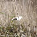 Squacco Heron; Garcilla Cangrejera