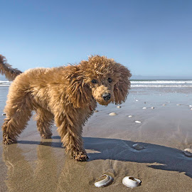 by Martin Hurwitz - Animals - Dogs Playing