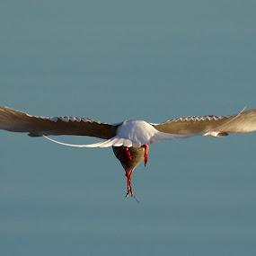 Fisktärna by Michael Pelz - Animals Birds