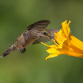 Bashful by Roy Walter - Animals Birds ( bird, animals, hummingbird, wildlife, garden )